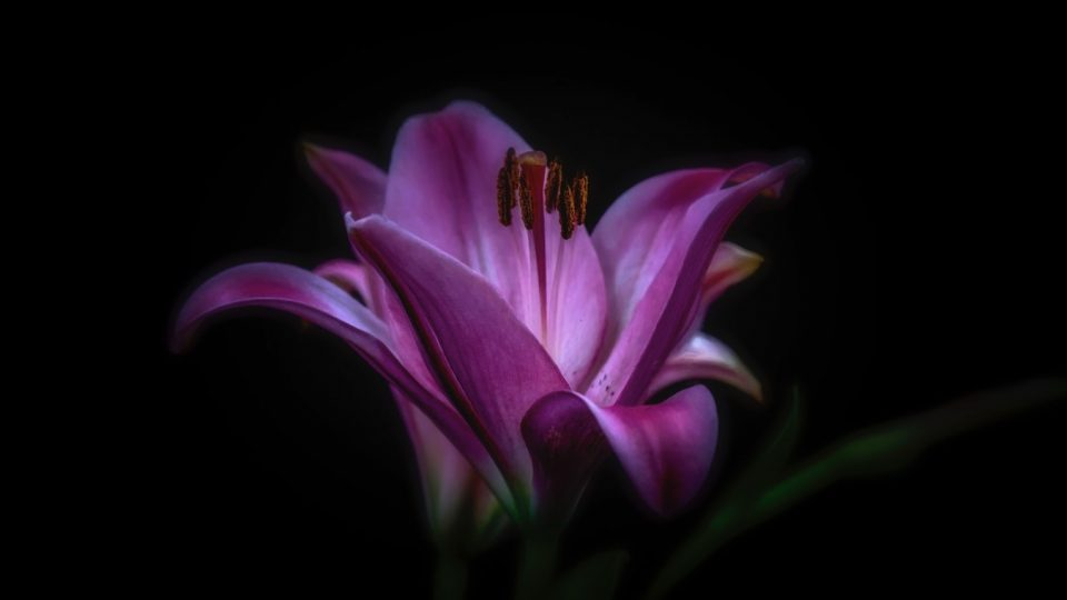 lily black and purple